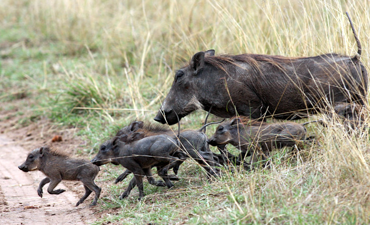 Pumba and its offspring