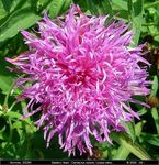 Title: Knapweed; supersize mine, please...