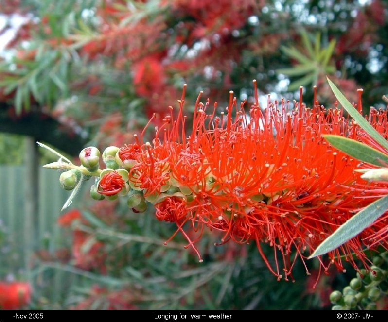 Crimson Bottlebrush ( Callistemon )