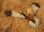 Title: Marsh Harrier