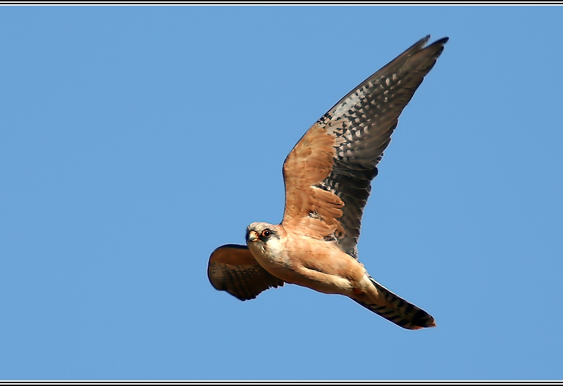 Red Footed Falcon II