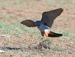 Title: Red Footed Falcon