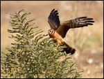 Title: Montagu's Harrier Chick