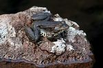 Title: Mountain Frog