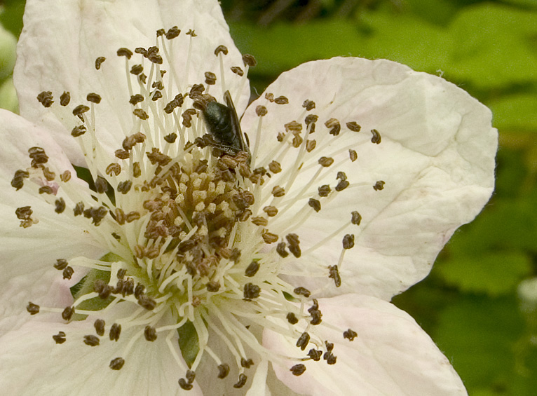 yet another bee-in-the-flower picture