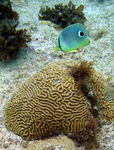 Title: brain coral near Grand Caymans