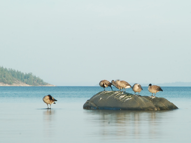 Geese on rock