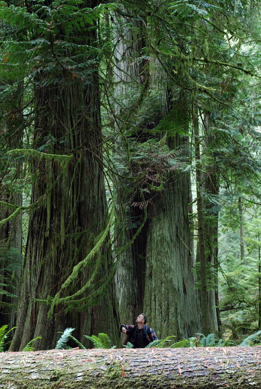 Giant trees of Cathedral Grove