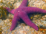 Title: purple starfish
