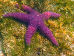 Title: Purple starfish 2