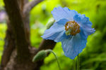 Title: Himalayan Blue Poppy