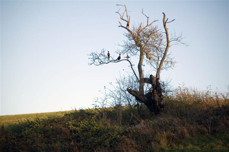 A Tree that grows Pheasants