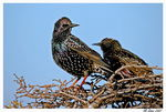 Title: starlings
