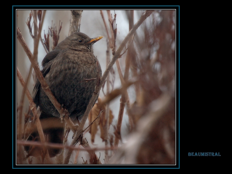Blackbird (female).