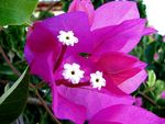 Title: bougainvilleaCanon Powershot S2-IS 12X Zoom
