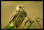 Title: Kestrel - No Mistakes