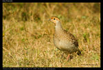 Title: Grey Francolin