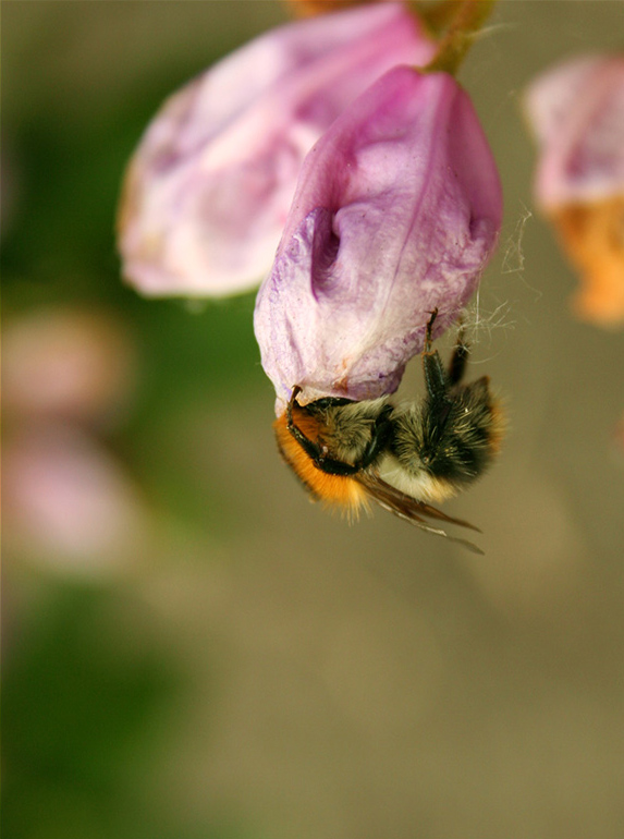Rhododendron and bee