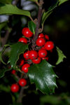Title: red berry(Ilex Aquifolium) II