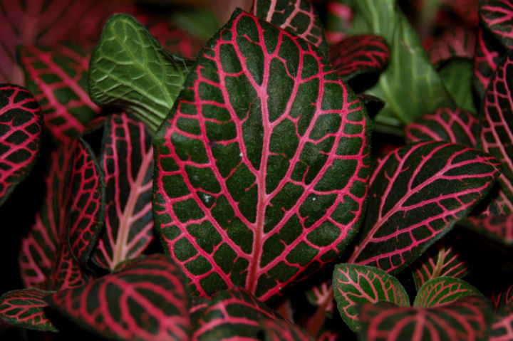 red leaved
