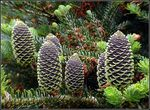 Title: The Purple Cones