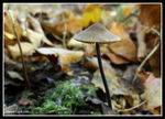 Title: Marasmius alliaceus - To 'valy67'