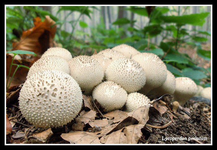 Lycoperdon perlatum - group