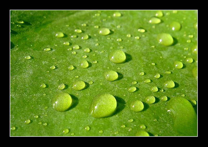 Droplets on leaf  for Boreocypriensis