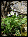 Title: Isopyrum thalictroides