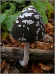 Title: The Magpie Inkcap