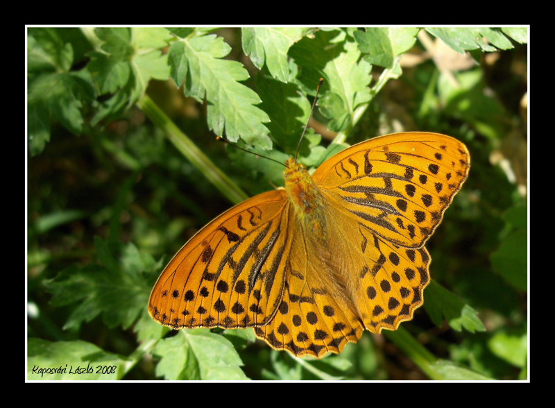 Argynnis paphia - Going Into The Light