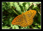 Title: Argynnis paphia - Going Into The LightHP Photosmart R817