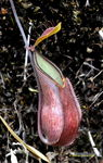 Title: nepenthes