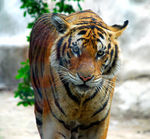 Title: tigerNikon D80 with MB_D80