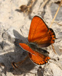 Title: Lycaena thersamon (male)Canon EOS 450D