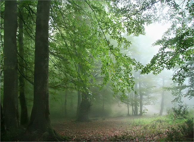 Foggy forest 2