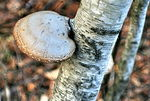Title: Mushroom on a birch