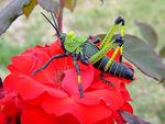 Title: Green GrassHopper on Red Rose