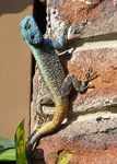 Title: Male Southern Rock Agama