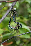 Title: a pair of dragonflies
