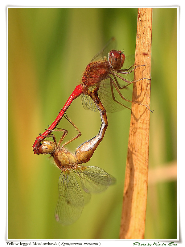 *Yellow-legged Meadowhawk