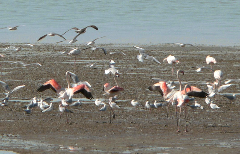 Flamingoes Taking Off