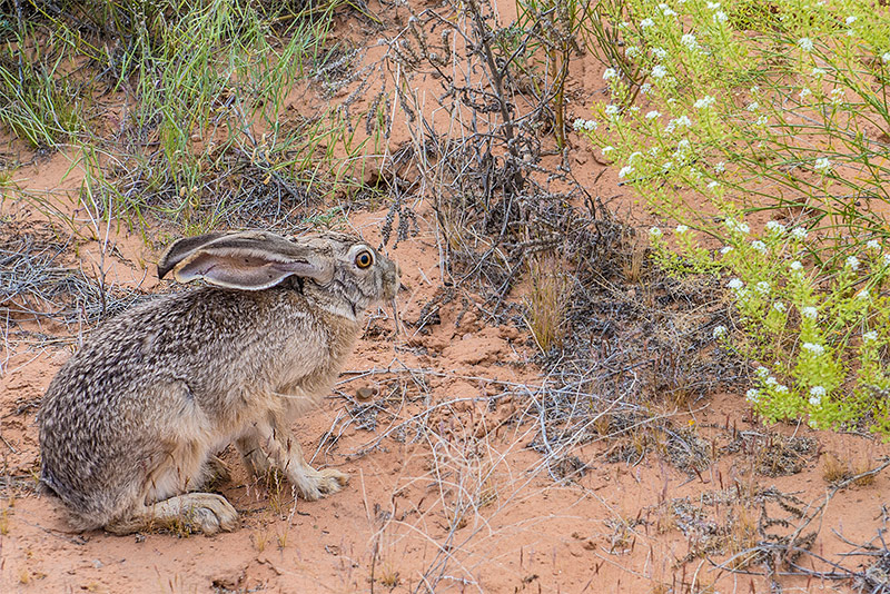Black-tailed Jack Rabbit