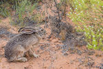 Title: Black-tailed Jack Rabbit