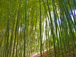 Title: Bamboo Forest