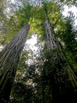 Title: Twin Towering Redwoods