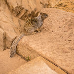 Title: Grand Canyon Squirrel