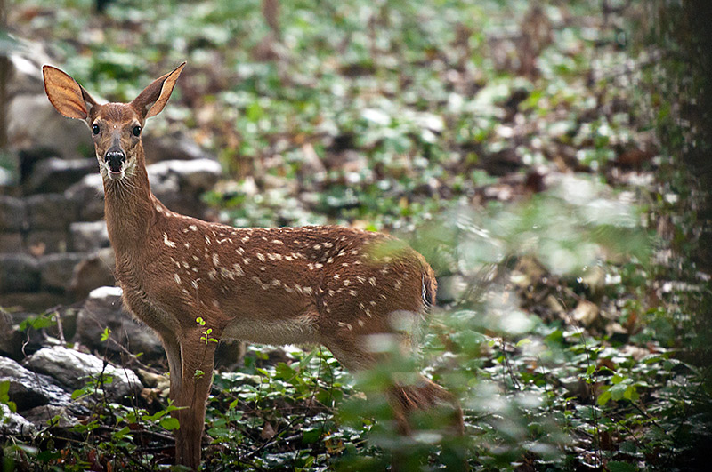 Front Yard Fawn