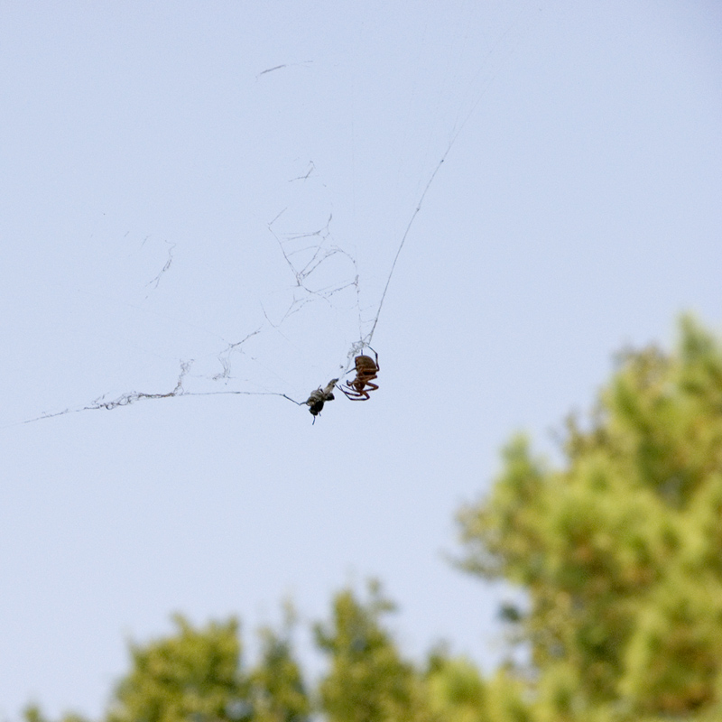 Spider enjoying a meal