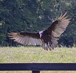 Title: Turkey Vulture